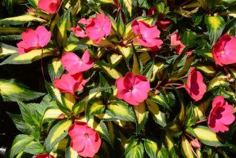 Guinée SunPatiens® Compact Tropical Rose