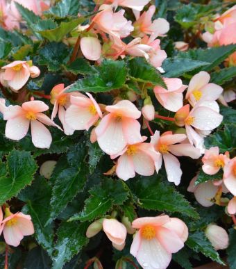Begonia Unbelievable™ Lucky Strike 2017