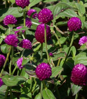 Gomphrena Ping Pong™ Purple