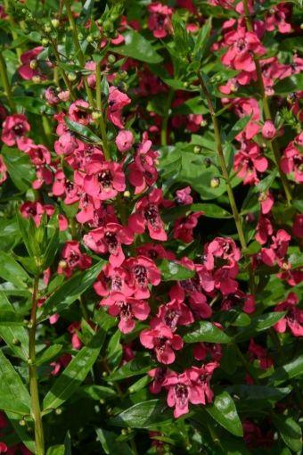 Angelonia à fleurs rougeâtres