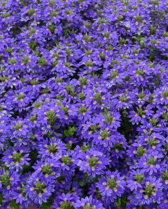 Scaveola Blue violet