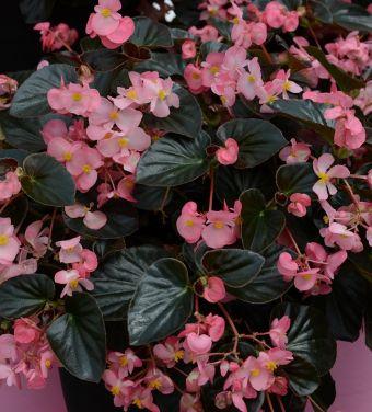 Begonia Megawatt rose fe foncée