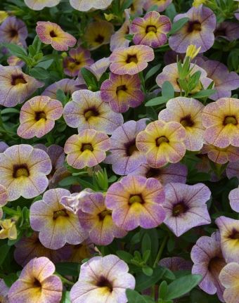 Calibrachoa Chameleon Blueberry Scone