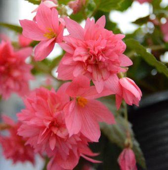 Begonia Funky Pink