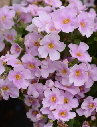 Bacopa Calypso ...Pink with Eye