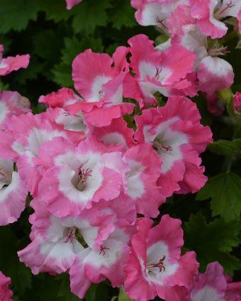 Geranium grandiflora Bermuda Pink
