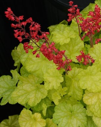 Heuchera 'Dolce Appletini'
