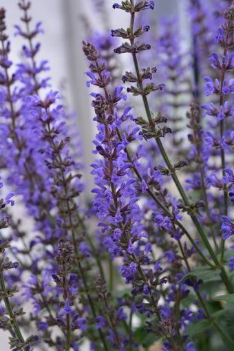 Salvia nemerosa 'Spring King'