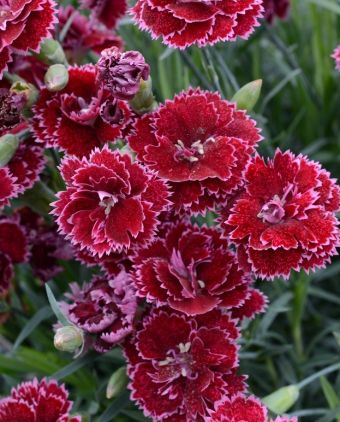 Dianthus Fruit Punch® Black Cherry Frost