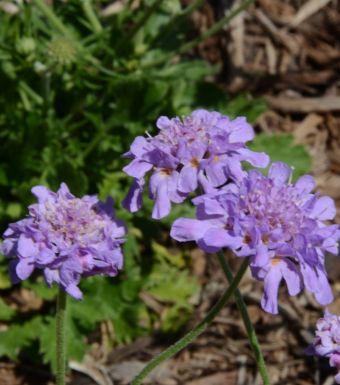 Scabiosa columbaria Flutter™ Deep Blue 'Balfluttdelu'