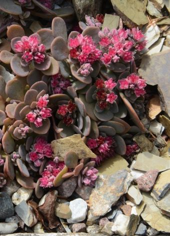 Sedum Sunsparkler® Sedoro Blue Elf