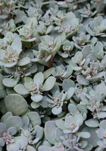 Sedum Sunsparkler® Sedoro Blue Elf 2