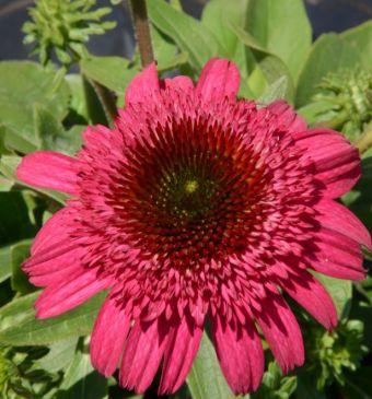 Echinacea Cara Mia™ Rose 'TNECHCMR'