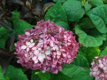 Hydrangea arborescens Invincibelle™ Ruby 'NCHA3'