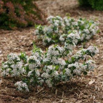 Aronia melanocarpa Low Scape® Mound 'UCONNAM165'