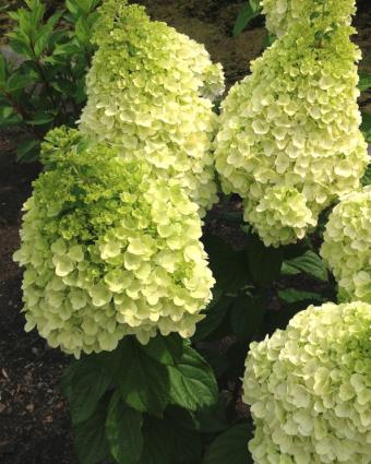 Hydrangea paniculata Lavalamp™ Sublime™ 'Kolmakilma'