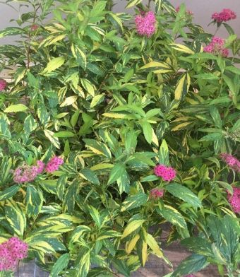 Spiraea japonica Double Play® Painted Lady 'Minspi'