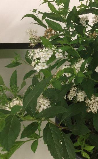 Spiraea japonica Yeti™ 'Conspiyet'
