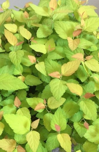 Spiraea japonica Double Play® Candy Corn™ 'NCSX1'