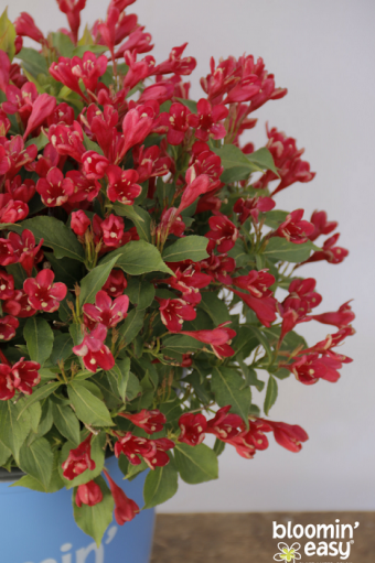 Weigela Date Night™ Crimson Kisses® 'Slingco 1'