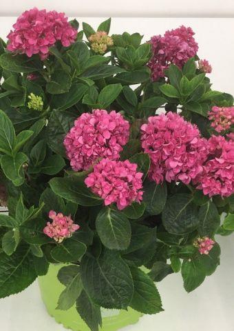 Hydrangea macrophylla Ruby Blossom® 'B-003' PP26823