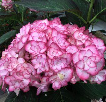 Hydrangea macrophylla 'Miss Saori'
