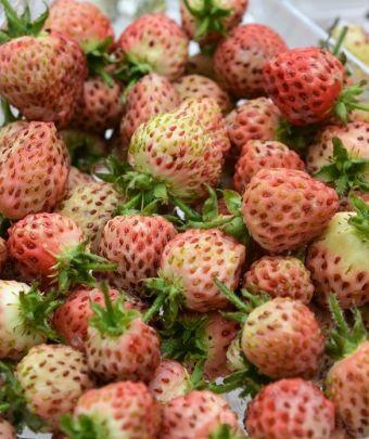 Fragaria moschata 'Bubbleberry'