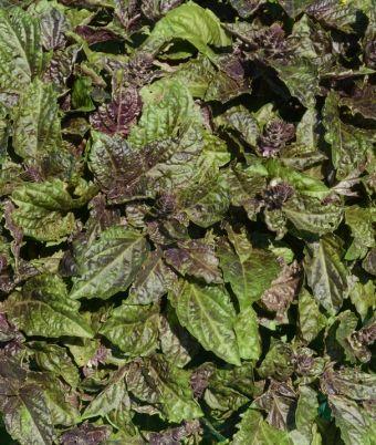 Ocimum basilicum Pesto™ Macchiatto
