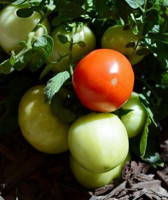 Solanum lycopersicum 'Stellar'