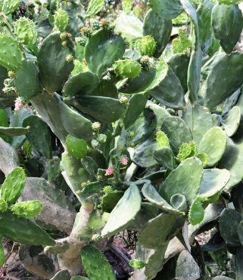 Opuntia ficus-indica JBVallarta