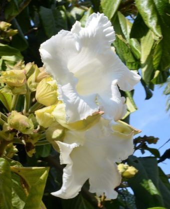 Beaumontia grandiflora JBVallarta