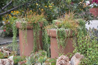 Euphorbia tirucalli 'Stick of Fire' entre autres