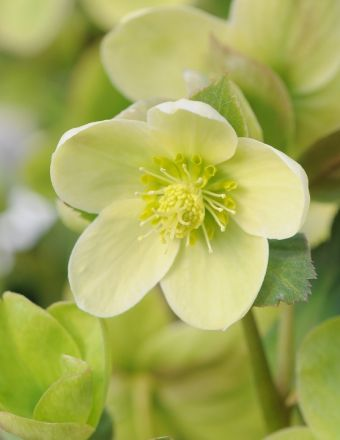 Helleborus nigercors 'Winter's Ghost'