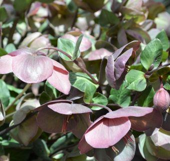 Helleborus Penny's Pink®