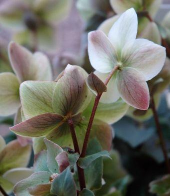 Helleborus ericsmithii Walberton's® Ivory Prince 'Walhelivor'