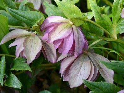 Hellébore à fleurs doubles
