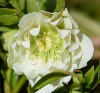 Hellébore à fleurs blanches doubles