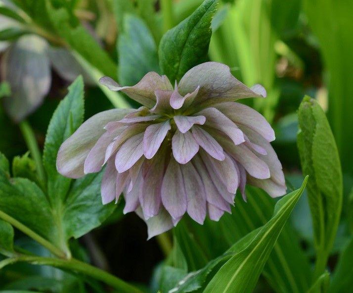 Hellébore hydride à fleurs doubles