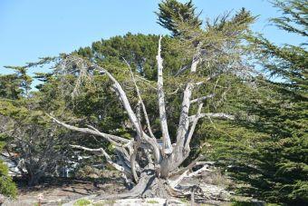 Cyprès arbre sec