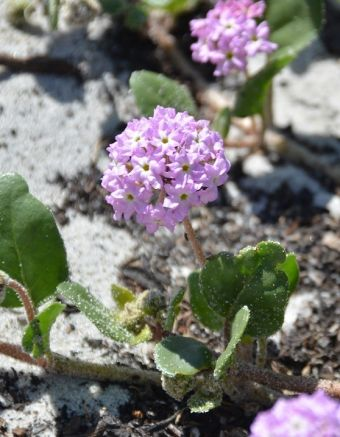 Abronia umbellata Carmel-by-the-Sea