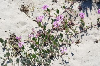 Abronia umbellata Carmel-by-the-Sea plant