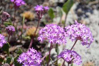 Abronia umbellata Carmel-by-the-Sea gros plan