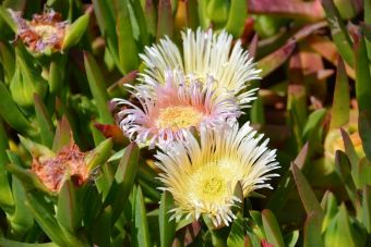 Carpobrotus edulis Carmen-by-the-Sea 1