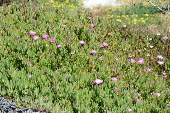 Carpobrotus edulis Carmen-by-the-Sea 2