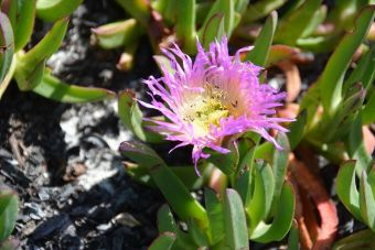 Carpobrotus edulis Carmen-by-the-Sea 3