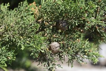 Cupressus macrocarpa Carmen-by-the-Sea 1