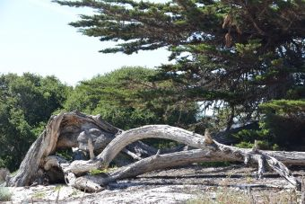 Cupressus macrocarpa Carmen-by-the-Sea 2