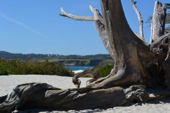 Cupressus macrocarpa Carmen-by-the-Sea 3