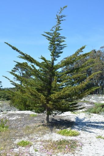 Cupressus macrocarpa Carmen-by-the-Sea 4