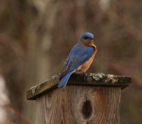 Merle bleu à Pointe Platon © Daniel Patry